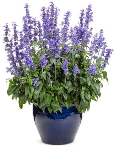 "Salvia Unplugged So Blue 4"" pot"