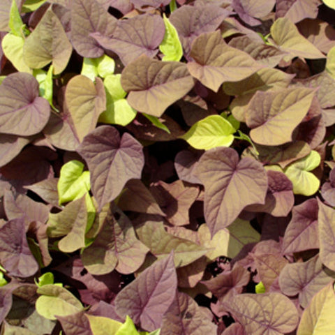 "Sweet Potato Vine Sweet Georgia Heart Red 4"" pot"