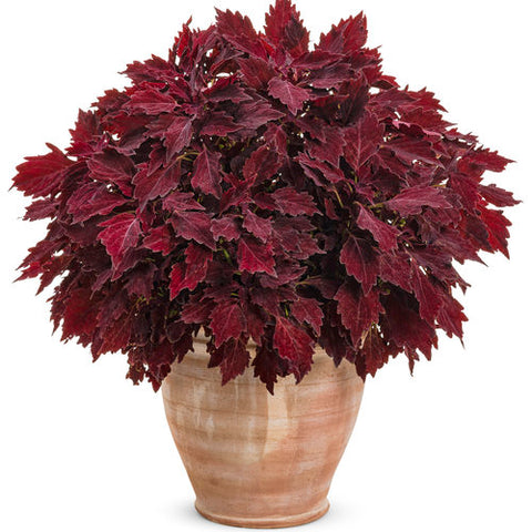 "Coleus Colorblaze Royale Cherry Brandy 4"" pot"