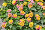 "Lantana Havana Sunrise 4"" pot"