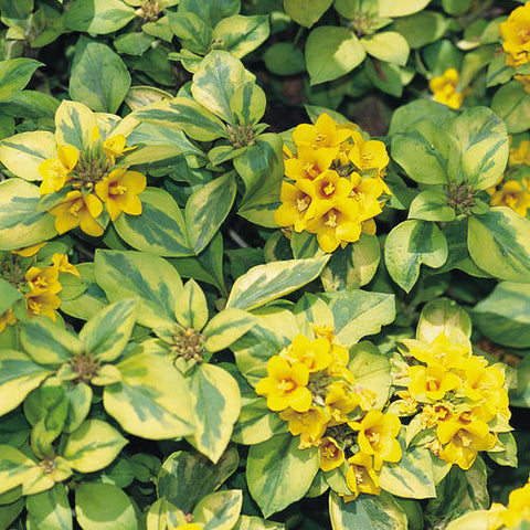 "Lysimachia Waikiki Sunset 4"" pot"