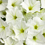 "Petunia Supertunia White  4"" pot"
