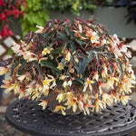 "Begonia Bossa Nova Yellow 4.5"" pot"