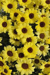 "Argyranthemum Grandaisy Yellow 4"" pot"