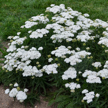Load image into Gallery viewer, Achillea - Yarrow - One Gallon