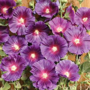 Alcea Blacknight - Hollyhock - One Gallon