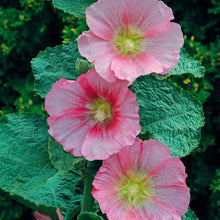 Load image into Gallery viewer, Alcea Blacknight - Hollyhock - One Gallon