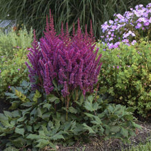 Load image into Gallery viewer, Astilbe - One Gallon