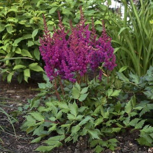 Astilbe - One Gallon
