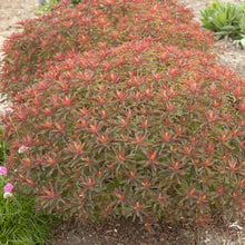 Load image into Gallery viewer, Euphorbia - Spurge - One Gallon