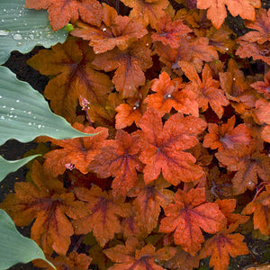Heucherella - Foamy Bells - One Gallon