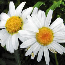 Load image into Gallery viewer, Leucanthemum - Shasta Daisy - One Gallon