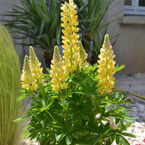 Lupine - One Gallon