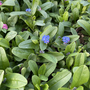 Myosotis - Forget-me-not - 4.5 Inch