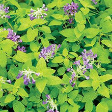 Load image into Gallery viewer, Nepeta Limelight - Catmint- 4.5 Inch