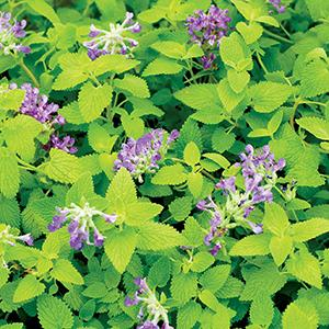 Nepeta Limelight - Catmint- 4.5 Inch