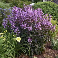 Load image into Gallery viewer, Penstemon - Beardtongue - One Gallon
