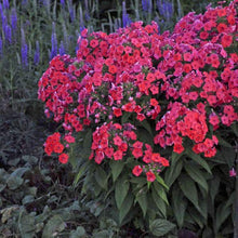Load image into Gallery viewer, Phlox - One Gallon