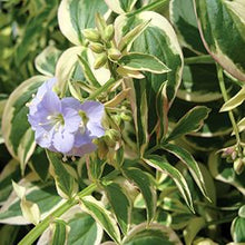 Load image into Gallery viewer, Polemonium - Jacob's ladder - One Gallon