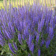 Load image into Gallery viewer, Salvia - Sage - One Gallon