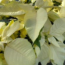 "Load image into Gallery viewer, Poinsettia 6.5"" Glitter"