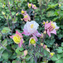 Load image into Gallery viewer, Aquilegia - Columbine- 4.5 Inch