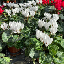 Load image into Gallery viewer, Cyclamen 4""