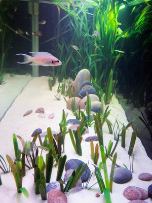 Small Vallisneria Natans 8-10 mm, mix package