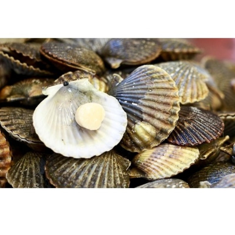 Scallops King Meat 500g - Supplied by Kingfisher Brixham