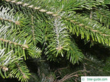 Nordmann Fir Christmas Tree