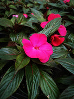 New Guinea Impatiens Paradise Rose Flair