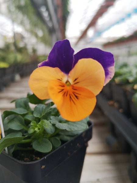 Violas Penny Orange Jump-Up 4 Pack