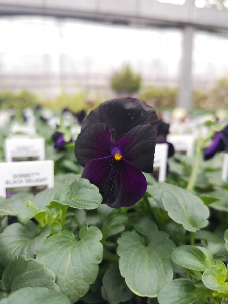 Violas Sorbet Black Delight