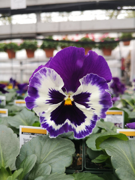 Pansy Spring Matrix Purple White