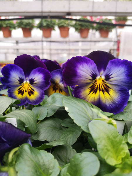 Pansy Matrix Midnight Glow