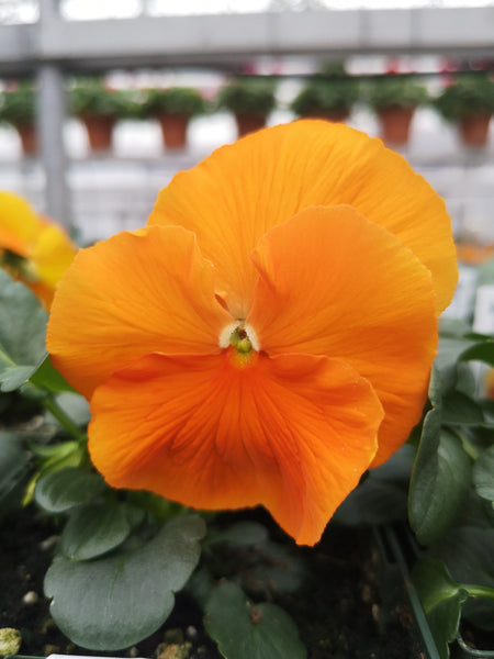 Pansy Spring Matrix Deep Orange
