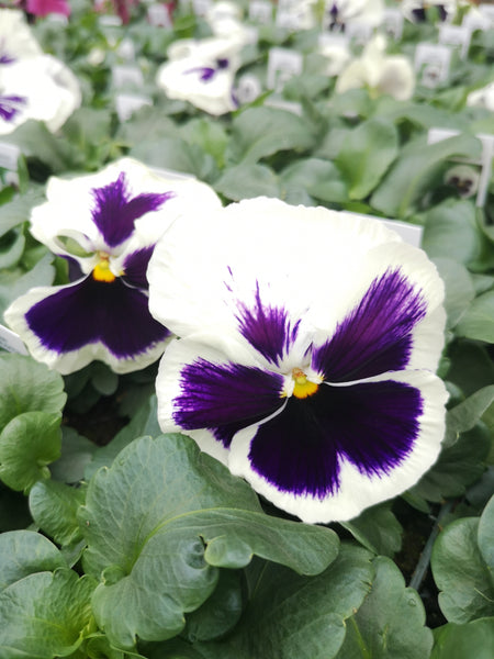 Pansy Matrix White Blotch