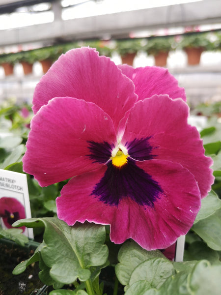Pansy Matrix Rose Blotch