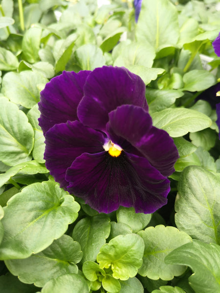 Pansy Matrix Purple Blotch