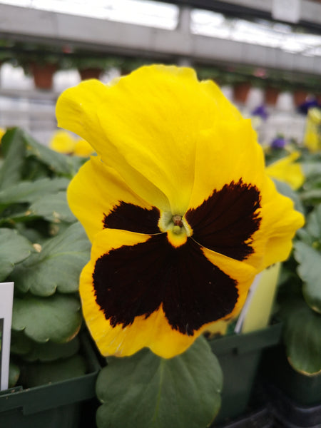 Pansy Matrix Yellow Blotch