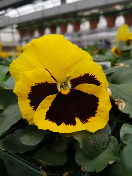 Pansy Mammoth Queen Yellow Bee