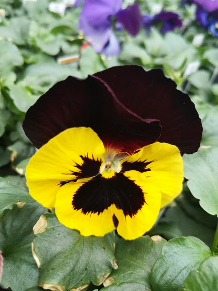 Pansy Inspire Yellow Red Wing