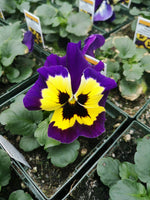 Pansy Inspire Yellow Purple Wing
