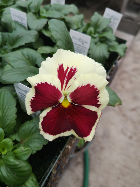 Pansy Inspire Lemon Red Blotch