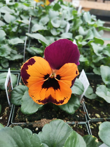 Pansy Inspire Purple and Orange