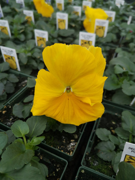 Pansy Delta Premium Pure Golden Yellow