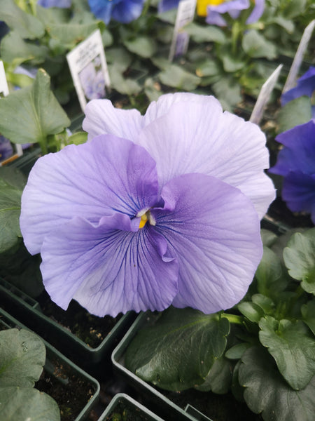Pansy Delta Premium Pure Light Blue