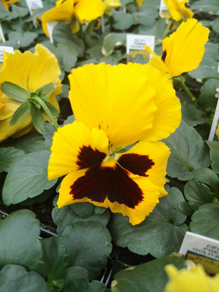 Pansy Delta Premium Gold with Blotch