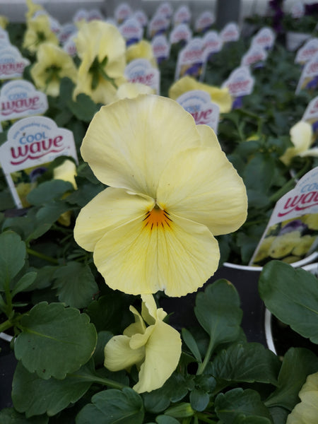 Pansy Cool Wave Lemon Surprise
