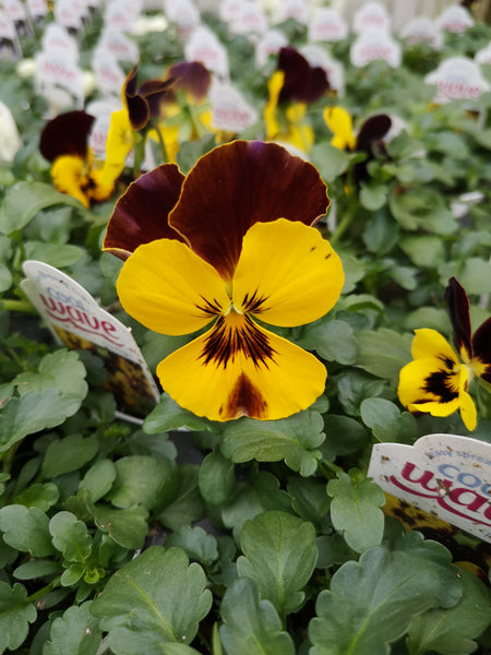 Pansy Cool Wave Fire